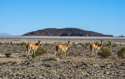 Vicuna Vicugna vicugna or vicugna is wild South American camelid, which live in the high alpine areas of the Andes. Stock Images