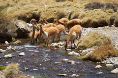 Vicuna in Water Stock Photo