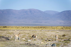 Vicuna in Zoutmeren Grandes in Jujuy, Argentinië Royalty-vrije Stock Foto
