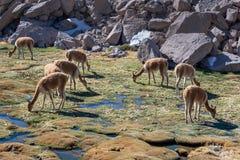 Vicunas που βόσκουν στον τομέα κοντά σε Las Cuevas, Χιλή Νότια Αμερική στοκ φωτογραφία με δικαίωμα ελεύθερης χρήσης