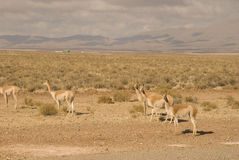 Vicunas Royalty Free Stock Image