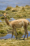 Vicunas Royalty Free Stock Photography