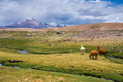 Vicunas and alpacas grazing, Las Vicunas National Reserve (Chile) Stock Photography