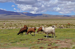 Vicunas on Andes Royalty Free Stock Photo
