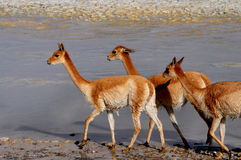 Vicunas in Bolivia. Wild vicunas in a desert of Bolivia Royalty Free Stock Image