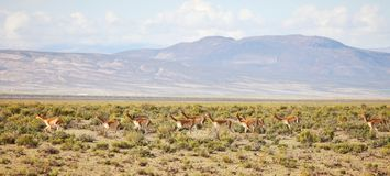 Vicunas on Bolivian Altiplano Stock Photography