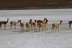Vicunas in Bolivian Altiplano royalty free stock photo