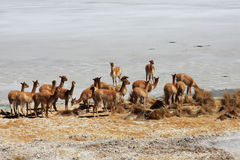 Vicunas in bolivian salar Royalty Free Stock Photos