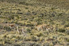 Vicunas in the countryside of Jujuy province Royalty Free Stock Photography