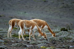 Vicunas eating Stock Photos