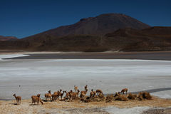 Vicunas in front of a laguna in chile Royalty Free Stock Images