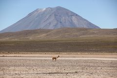 A herd of Vicunas on the Altiplano. A herd of wild Vicuna around the desert landscape of the Altiplano near Arequipa, Peru stock photography