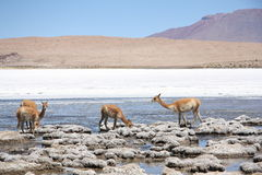 Vicunas in the lagoon of Andes in Bolivia Royalty Free Stock Images