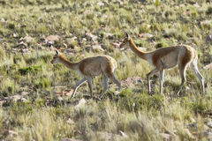 Vicunas in the meadows of Salta province Stock Photos
