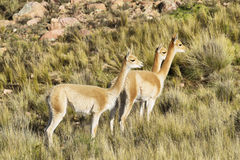 Vicunas in the meadows of Salta province Royalty Free Stock Images