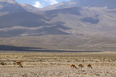 Vicunas in Peru Stock Image
