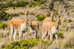 Vicunas in the peruvian Andes Arequipa Peru Royalty Free Stock Photos