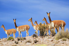 Vicunas Royalty Free Stock Photo