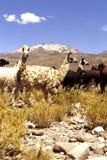 Vicunas- Salar de Uyuni, Bolivia Stock Images