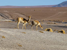 Vicunas Stock Photo