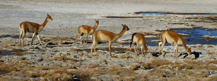 Vicunas. Typical andean mammal. This one lives in southern Altiplano in Bolivia Stock Photos