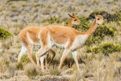 Vicunas w peruvian Andes Arequipa Peru Zdjęcie Royalty Free