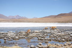 Vicunas or wild lamas in Mountains of South America Royalty Free Stock Photos