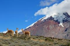 Vicunhas, parentes selvagens dos lamas, pastando em planos altos do vulcão de Chimborazo, Equador foto de stock royalty free