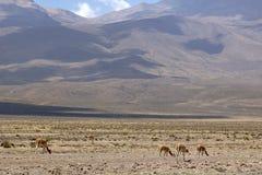 Vicunjas in Peru Stockbild