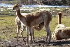 Vicunjas, Vicugna Vicugna, Verwandte des Lamas stockfoto