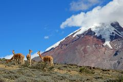 Vicunjas, wilde Verwandte von Lamas, lassend an den hohen Flächen Chimborazo-Vulkans, Ecuador weiden Lizenzfreies Stockfoto
