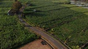 vidéo aérienne de bourdon du vol 4K de jeunes touristes de couples marchant dans le champ de maïs Île de Bali banque de vidéos