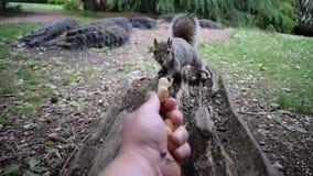 Vidéo de alimentation de l'écureuil HD de main banque de vidéos