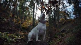 Vidéo des feuilles d'automne tombant sur le chien de bull-terrier dans les bois banque de vidéos