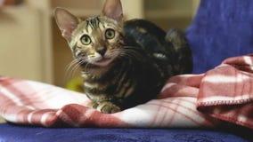 Vidéo du chat de pure race domestique du Bengale qui se repose et regarde sur une chaise dans l'appartement clips vidéos