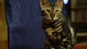Vidéo du chat de pure race domestique du Bengale qui se repose et regarde sur une chaise dans l'appartement banque de vidéos