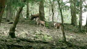 Vidéo : Un petit troupeau de cerfs communs dans la forêt banque de vidéos