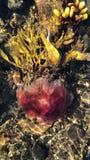 Vidéo verticale des méduses rouges dans les algues banque de vidéos