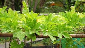Vid amarga de la hoja de la calabaza del jade verde de la naturaleza en el jardín botánico de Taiwán Taipei metrajes