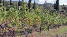 Vid con los manojos de uvas maduros para el vino en un día soleado del otoño almacen de metraje de vídeo