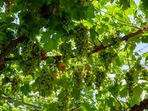 Vid con los manojos de uvas que cuelgan de sus ramas Imagenes de archivo