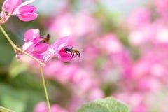 Vid coralina o flor del gancho del leptopus de Antigonon con la abeja Fotos de archivo libres de regalías