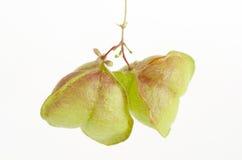 Vid de globo, guisante de corazón, semilla del corazón, guisante de corazón con hojas liso en un fondo blanco Imagenes de archivo