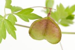 Vid de globo, guisante de corazón, semilla del corazón, guisante de corazón con hojas liso en un fondo blanco Fotos de archivo
