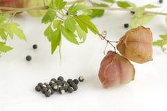 Vid de globo, guisante de corazón, semilla del corazón, guisante de corazón con hojas liso en un fondo blanco Imágenes de archivo libres de regalías