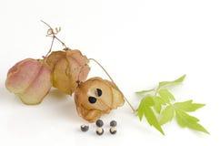 Vid de globo, guisante de corazón, semilla del corazón, guisante de corazón con hojas liso en un fondo blanco Imagen de archivo libre de regalías