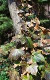 Vid de la hiedra que sube en un tronco de árbol Imagen de archivo