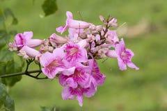 Vid de trompeta rosada, Pododranea Ricasoliana Imagenes de archivo