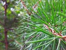 Vid de un árbol de pino Imágenes de archivo libres de regalías
