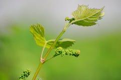 Vid de uva en la floración Fotos de archivo